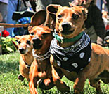 Ellensburg Dachshunds on Parade